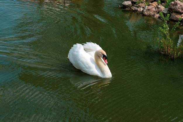 Biały łabędź pływa w jeziorze z bliska