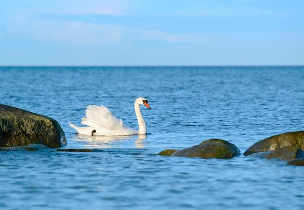 Biały łabędź pływa w morzu