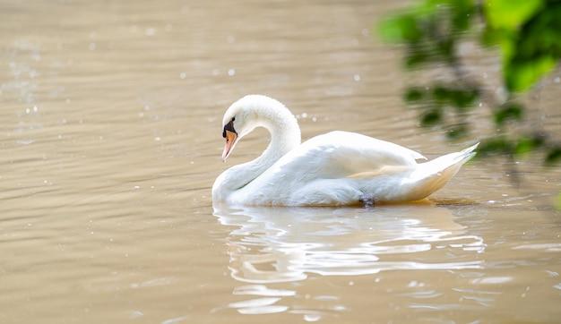 Biały łabędź pływający po jeziorze
