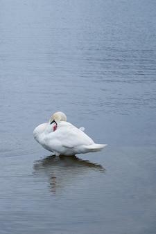 Biały łabędź robi facepalm na wybrzeżu morza bałtyckiego w finlandii.
