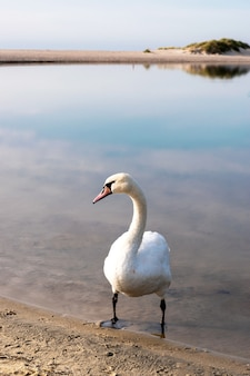 Biały łabędź Stoi W Wodzie Na Piasku Premium Zdjęcia