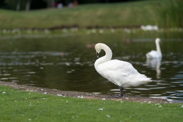Biały łabędź stojący na skraju stawu na zielonej trawie