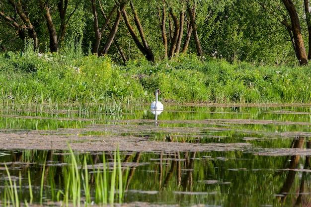 Biały łabędź unoszący się na małym jeziorze. wiosna. na brzegu rośnie zielona trawa, turzyca i drzewa
