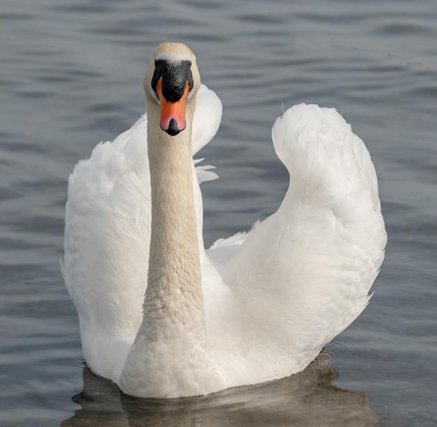 Biały łabędź w wodzie jeziora. łabędź w wodzie. biały łabędź w naturze.