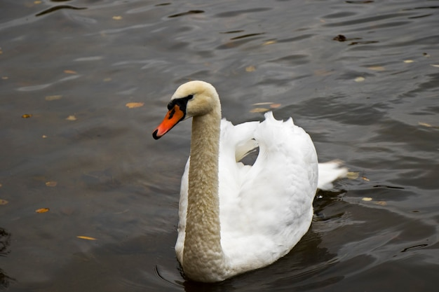 Biały łabędź w wodzie, pływanie, jezioro i dzikie zwierzę