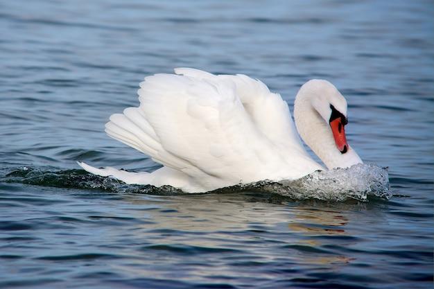 Biały łabędź w wodzie