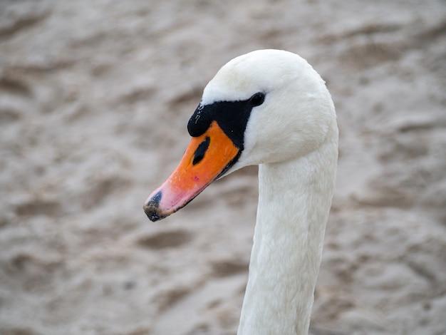 Biały łabędź z długą szyją i pomarańczowym dziobem