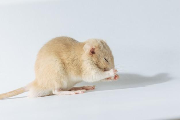 Biały laborancki szczur odizolowywający na białym tle
