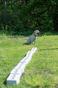 Biały labrador retriever siedzi obok rzędu kontenerów i czeka na polecenie wyszukania ukrytego obiektu. szkolenie do szkolenia psów przewodników policji, celników lub służby granicznej.