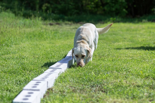 Biały labrador retriever wącha rząd pojemników w poszukiwaniu jednego z ukrytym przedmiotem. szkolenie do szkolenia psów przewodników policji, celników lub służby granicznej.