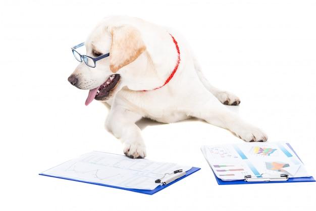 Biały labrador w okularach i dokumentach roboczych.