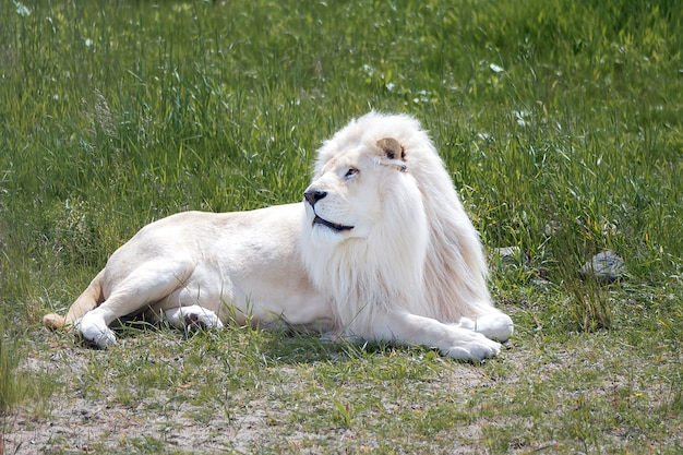 Biały lew leżący na zielonej trawie