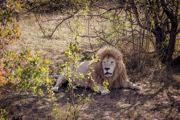 Biały lew odpoczywa w cieniu drzew. twarz pokryta bliznami