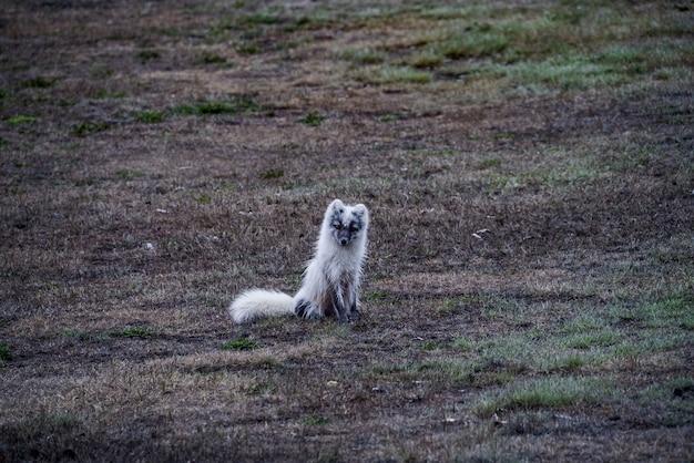 Biały lis siedzi na brązowej ziemi