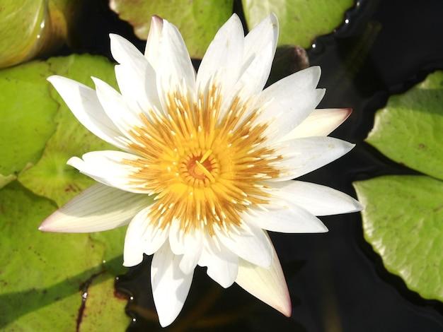 Biały lotos na wodzie
