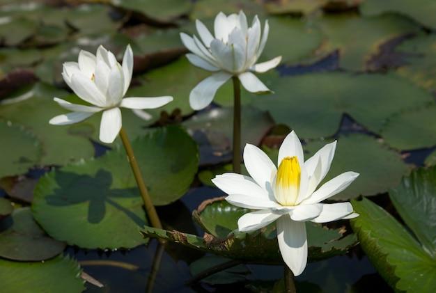 Biały lotosowy kwiat w stawie