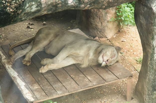 Biały lwa dosypianie przy dusit zoo, tajlandia.