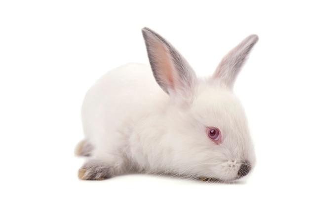 Biały mały królik odizolowywający na białym tle