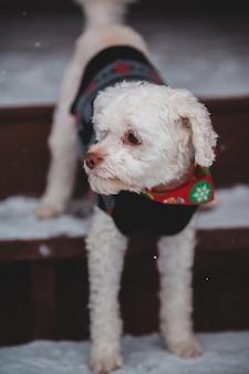 Biały mały pies z bliska