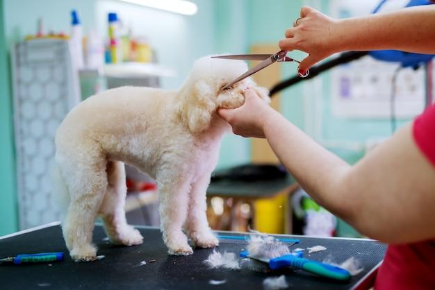 Biały mały śliczny pies przycinany przez młodą fryzjerkę, która trzyma nożyczki.