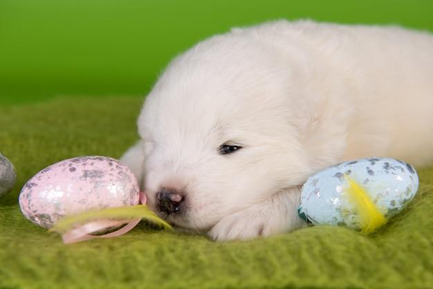 Biały mały szczeniak samoyed z jajkami wielkanocnymi na zielonym tle