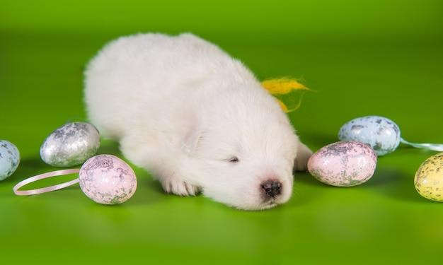Biały mały szczeniak samoyed z kolorowymi jajkami wielkanocnymi na zielonym tle