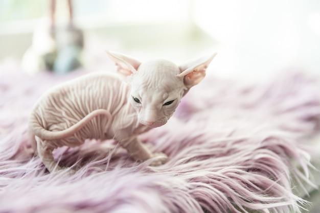 Biały miesięczny kot don sphynx na bzu