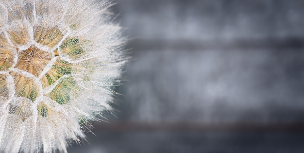 Biały mniszek lekarski z bliska krople deszczu