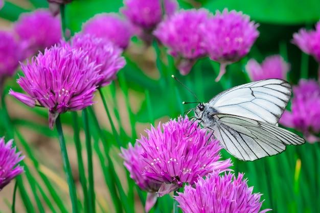 Biały motyl na różowym kwiacie.