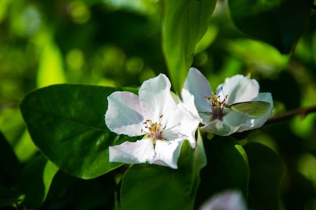 Biały motyl siedzi na gałęzi jabłoni z różowymi i białymi kwiatami. zdjęcie wysokiej jakości