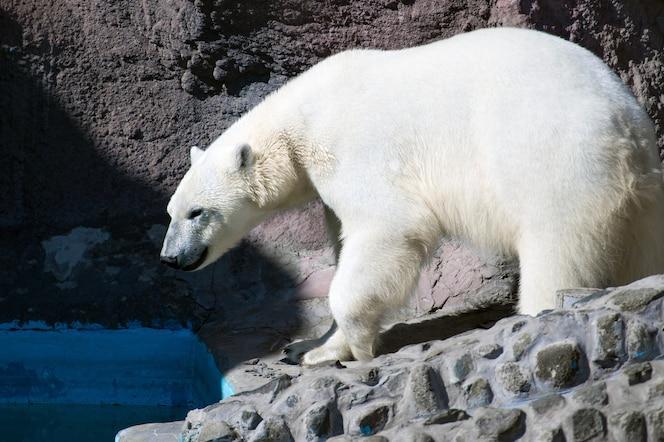 Biały niedźwiedź polarny spaceruje po wybiegu w zoo