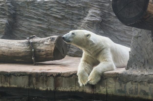 Biały niedźwiedź polarny w zoo