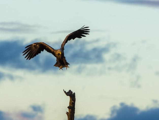 Biały ogoniasty eagle ląduje w drzewie, vertical kopii przestrzeń
