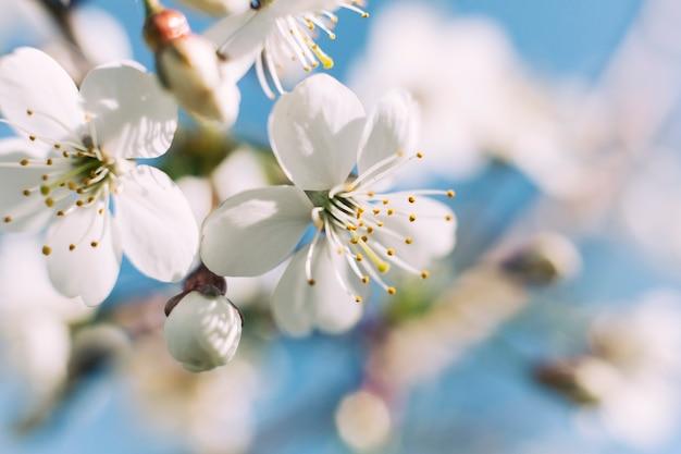 Biały okwitnięcie jabłoń w wiośnie