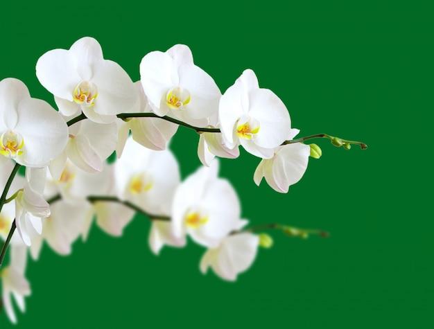 Biały orchidea kwiat odizolowywający na zielonym tle