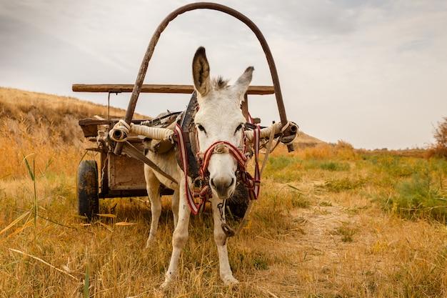 Biały osioł z wózkiem w polu, osioł z wózkiem