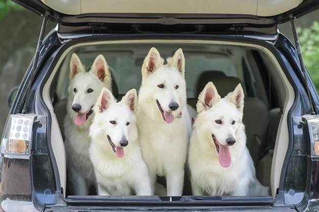 Biały owczarek szwajcarski w bagażniku samochodu. początek podróży. psy są zabrane na szczepienie.