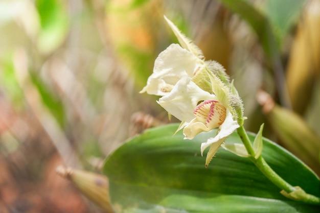 Biały papua nowa gwinea kwiat orchidei