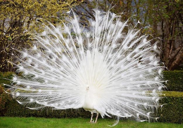 Biały paw pokazujący swój piękny ogon