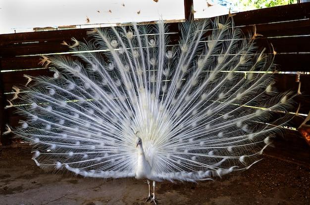 Biały paw rozpuścił duży i piękny ogon na farmie izraela