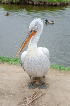 Biały pelikan na lądzie pozuje i patrzy uważnie obok kaczek na jeziorze
