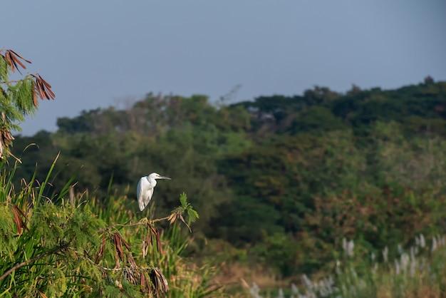 Biały pelikan patrzeje dla ryb na drzewie