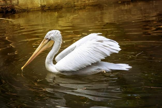 Biały pelikan pływający w wodzie pod promieniami słońca. pelecanus onocrotalus, znany również jako wschodni biały pelikan, różany pelikan lub biały pelikan