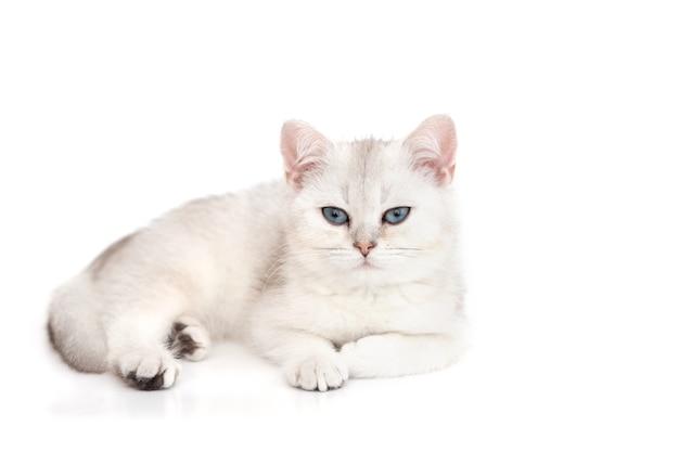 Biały piękny kociak szynszyla brytyjska srebrna leży z niebieskimi oczami odizolowanymi na białej powierzchni