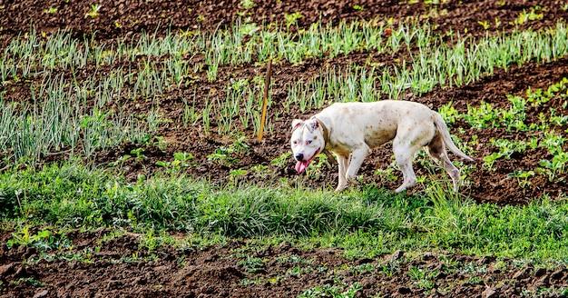 Biały pies biegnący przez pole