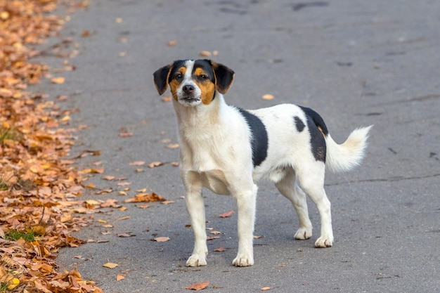 Biały pies cętkowany na alei w parku podczas spaceru jesienią