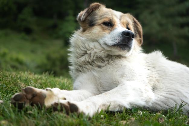 Biały pies himalajski odpoczynku w środowisku naturalnym