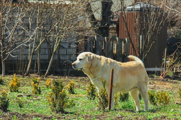 Biały pies labrador leży na ziemi na podwórku