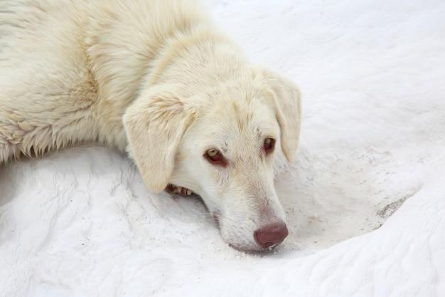 Biały pies leżący na trawertynach w pamukkale