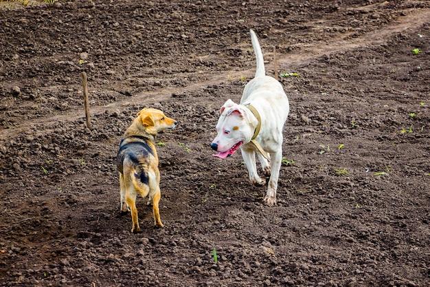 Biały pies pitbull i brązowy bezpański pies na polu. przypadkowa znajomość i nawiązywanie kontaktów_